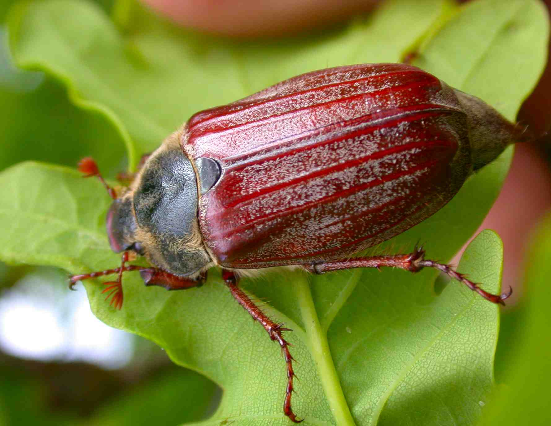 Cockchafer (Maybug)